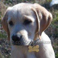yellow labrador retriever puppy Harpe