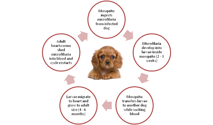 Lifecycle of heartworms in dogs