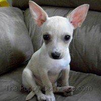 White Chihuahua puppy Heli