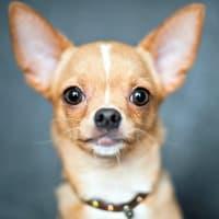 Tan and white Chihuahua headshot