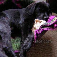 black lab puppy Jack