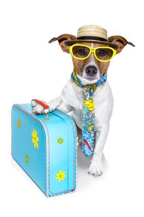 Jack Russell Terrier ready to go on vacation