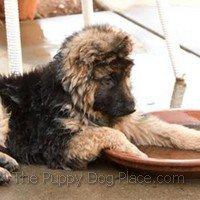 Khi - long-coated German Shepherd puppy