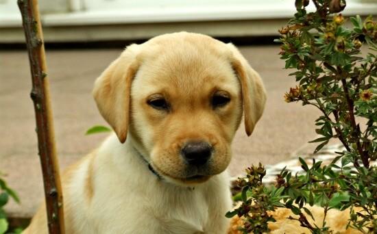 Yello Lab puppy