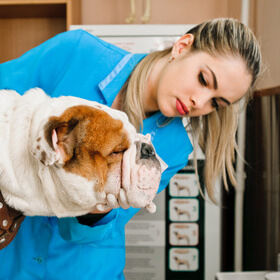 Veterinarian with bulldog
