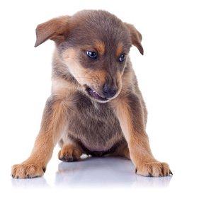 Puppy growling