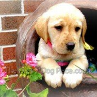 little yellow lab pup Lucy