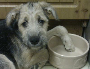Terrier pup with empty food bowl