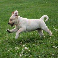 HappyMonty the lab puppy
