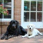 Oakley & Cooper Labrador Retriever