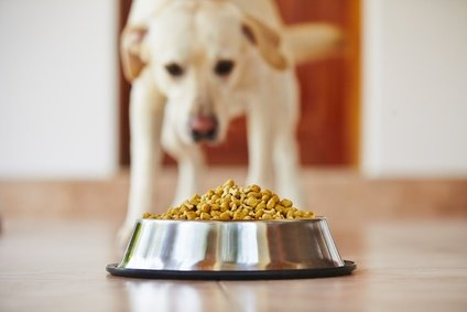 Older dog looking at dog food in his bowl