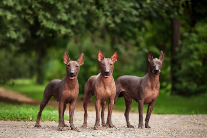 Three Xoloizcuintli Mexican Hairless dogs