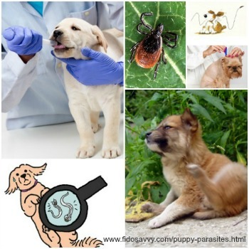 All about puppy parasites