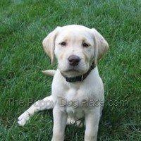 cream labrador retriever puppy Penn