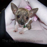 Brindle & whit chihuahua puppy Phoebe