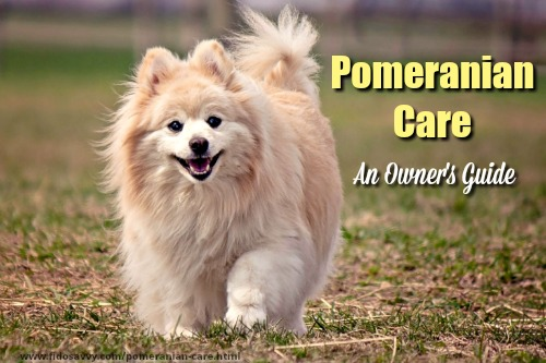 Owners guide to Pomeranian care.