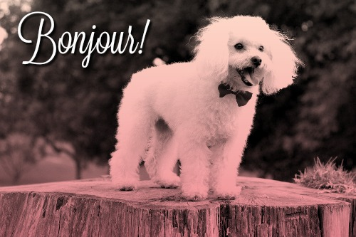 French Poodle wearing bow tie