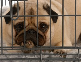 Pug in dog crate