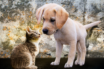 Puppy meeting kitten