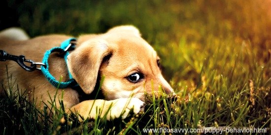 Small puppy on a leash in grass