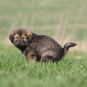 Little puppy eliminating on grass
