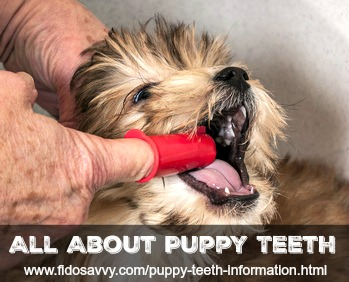 Puppy teeth information