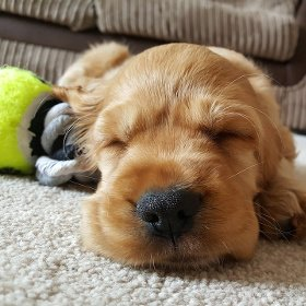 Puppy with favorite toy