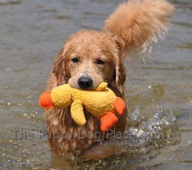 Golden Retriever Roby