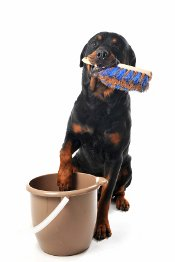 rottweiler with bucket and brus