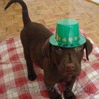 chocolate lab puppy Roxy on St. Patrick's Day
