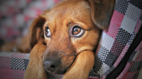 Sad and sick puppy on blanket