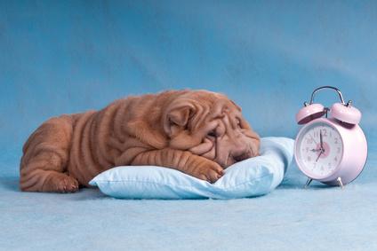 Shar Pei puppy with alarm clock