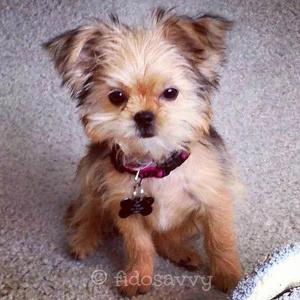Shorkie puppy at 3 months