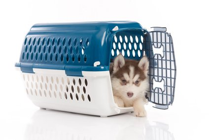 Siberian Husky puppy in correctly sized dog crate