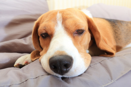 Sick Beagle puppy