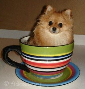 Adorable Teacup Pomeranian