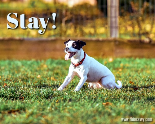 Terrier learning the 'Stay!' dog training command