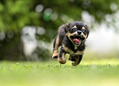Tiny excited puppy