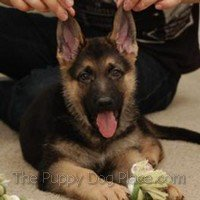 German Shepherd pup Truman