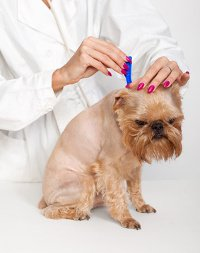 Dog getting topical flea treatment