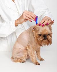 Dog getting topical flea treatment