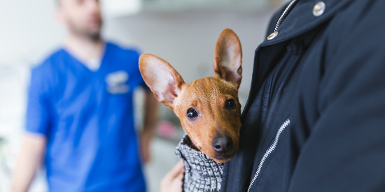 Veterinarian with Miniature Pinscher and owner