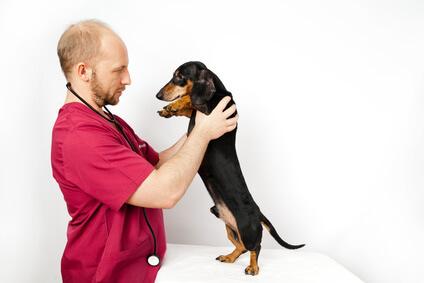 Veterinarian examining Dachshund