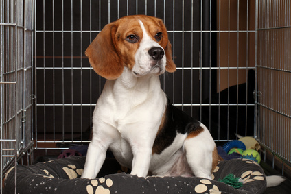 Beagle dog in wire crate with bed and toys