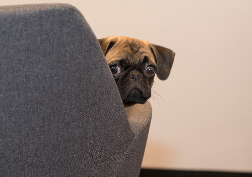 Anxious Pug puppy left alone