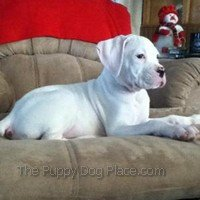 White Boxer puppy Wynter Mya -  the picture of serenity
