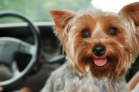 Yorkshire Terrier on road trip