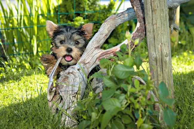 Cute Yorkshire Terrier puppy hiding behind a tree branch