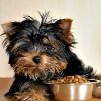 Yorkie puppy with food in his bowl on the table