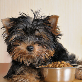 Yorkie puppy with kibble